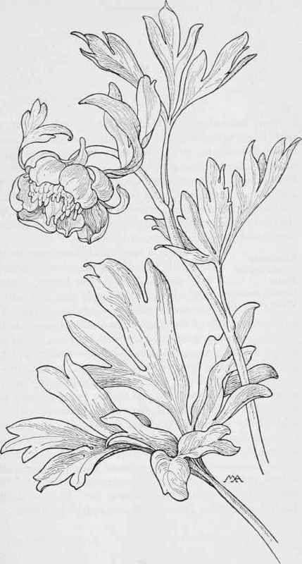 Wild Peony. Paeonia Brownii. Dark-Red. Winter. Spring Wash., Oreg ...