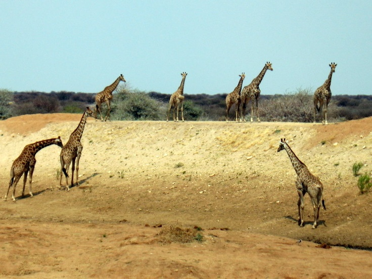 A heard of Giraffes walking to the water hole