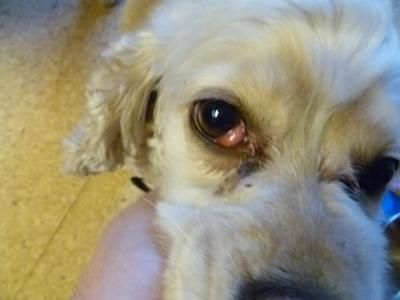 Dog Has Runny Eyes Green Discharge