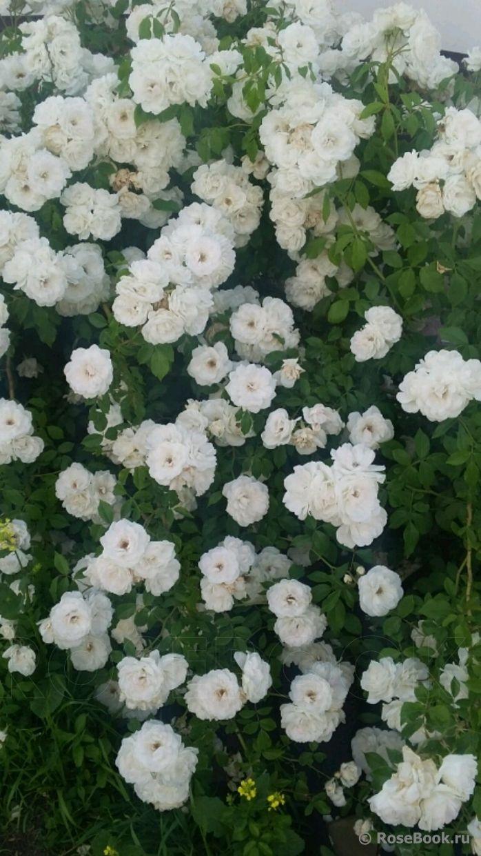 802 best rosen images on pinterest austin rose backyard. Black Bedroom Furniture Sets. Home Design Ideas