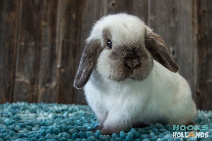 Sable point Holland lop doe named Mable.  Hook's Hollands Ohio Holland Lops