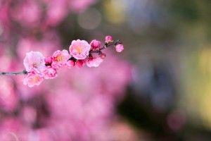 Apricot Pink Flowers Macro Bokeh HD Wallpaper
