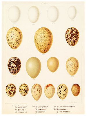 10 Best Images About Eggs On Pinterest Drawings Of Birds