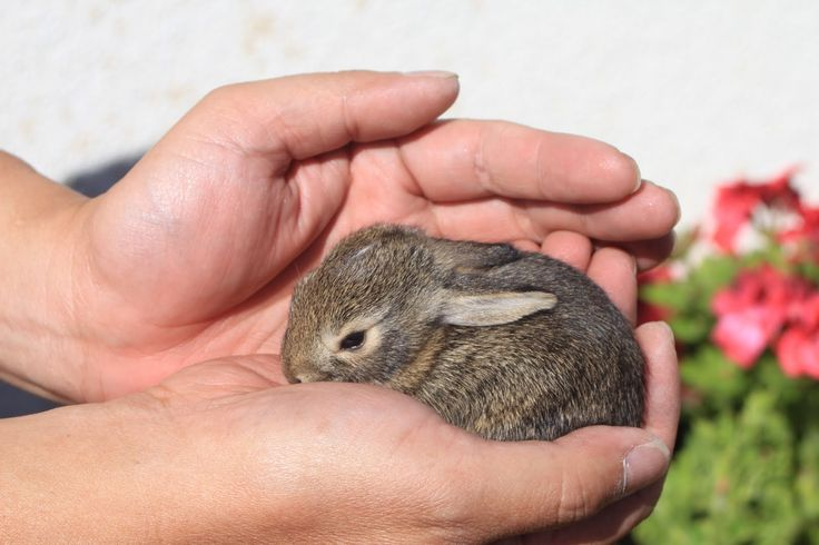 We now have 31 ads from 98 sites for baby dwarf lop rabbits for sale, under Pets & Animals. Description from petschoices.org. I searched for this on bing.com/images