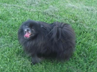 Black Pomeranian Dog Pictures