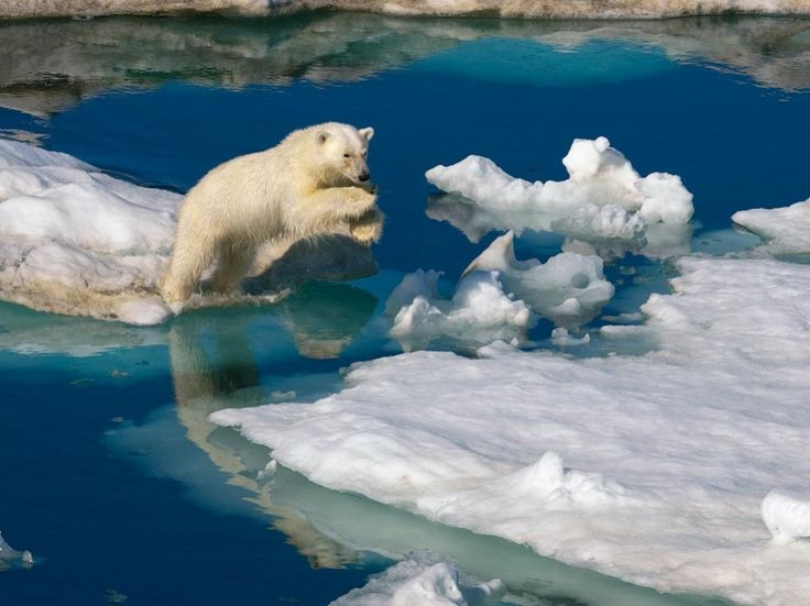 A young polar bear leaps between drifts of Barents Sea ice in Svalbard, Norway's Arctic archipelago. Glacial ice covers more than half of the island chain, which lies 400 miles (640 kilometers) north of the Norwegian mainland.-- National Geographic.