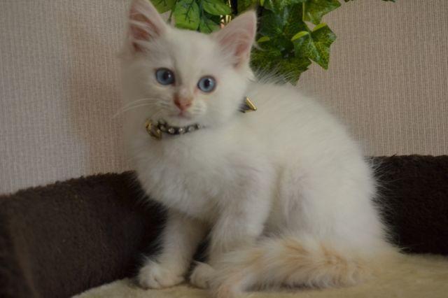 RAGDOLL, PERSAN x RAGDOLL, ou DOMESTIQUE | chats, chatons à vendre | Ville de Montréal | Kijiji