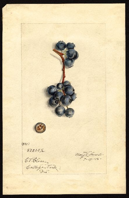 Shull, James Marion, 1872-1948  Vaccinium corymbosum  Common name: blueberries