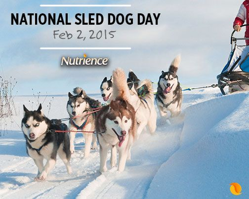 """Some #dogs just love to """"mush!"""" Does your #NutriencePet enjoy #dog sledding to stay #active? Share a photo or video!"""