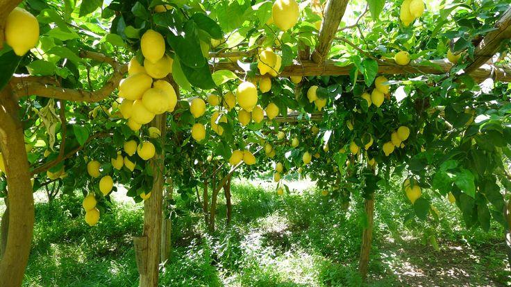Tutti i segreti della coltivazione del limone. Dal Nord al Sud, la passione è tradizione. Scopri il limone, il ribelle della natura!