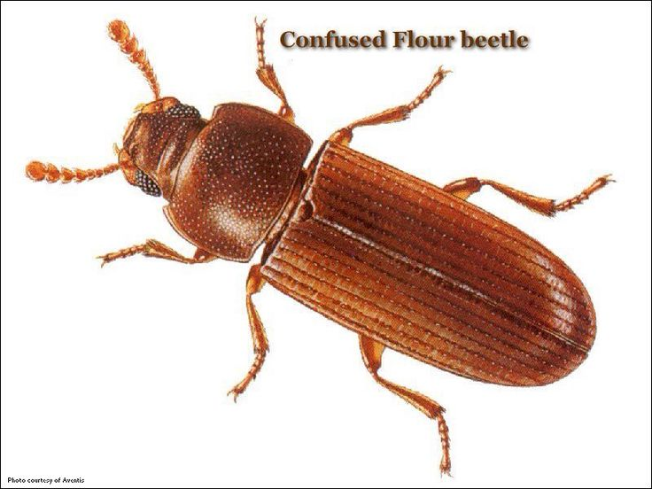 The confused flour beetle (Tribolium confusum), a type of darkling beetle known as a flour beetle, is a common pest insect known for attacking and infesting stored flour and grain. They are one of the most common and most destructive insect pests for grain and other food products stored in silos, warehouses, grocery stores, and homes.