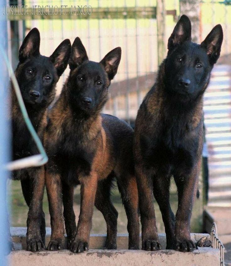 Justice, Jericho, and Jango - three adorably curious German shepherd dogs!