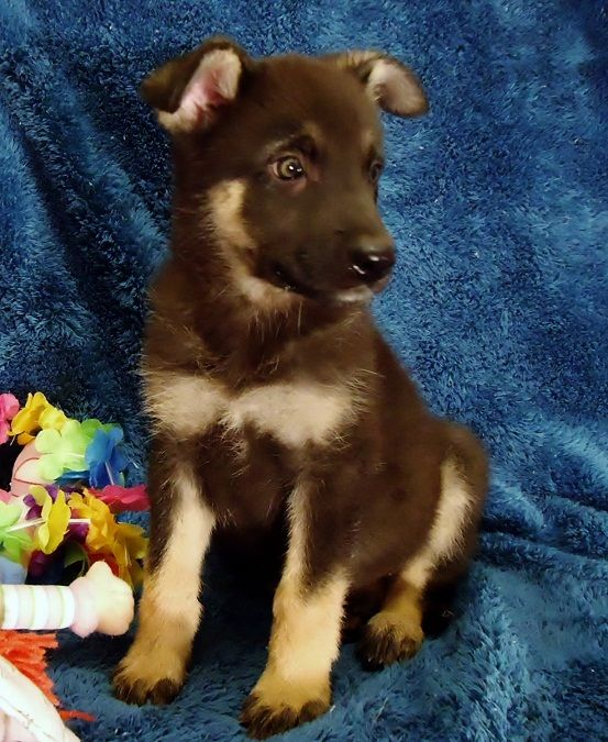 how to potty train your german shepherd puppy