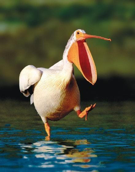 ~ Behold the dancing pelican.........His beak can hold more than his belly can ~ #DancingPelican #pelicans