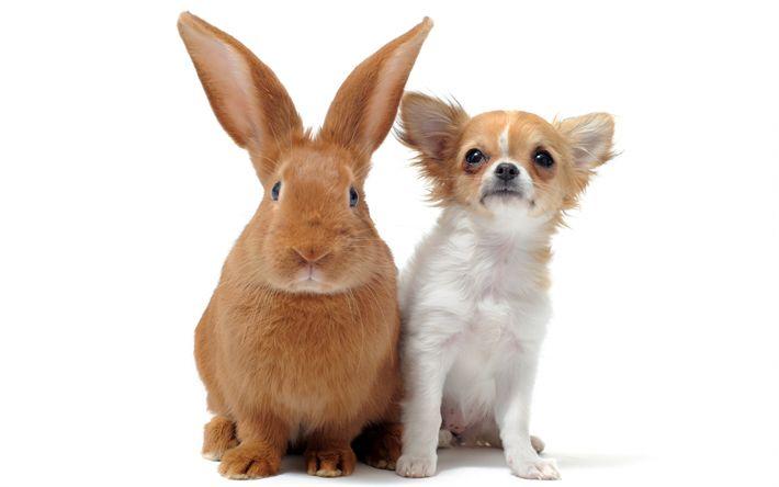 Descargar fondos de pantalla Brown conejo, cachorro, chihuahua, perro y conejo, la amistad