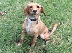 Image result for labbe dog