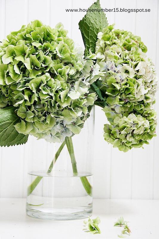 Inget slår den vackra hortensian   så här på höstkanten när de flesta   blommorna har gått i dvala in för   vintern.    ...