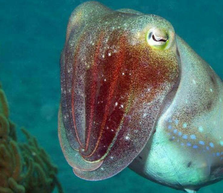 sleepy little cuttlefish