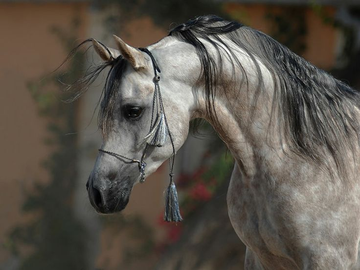 10 best images about wildlife horses on pinterest nature friesian and the wild - Arabian horse pictures ...