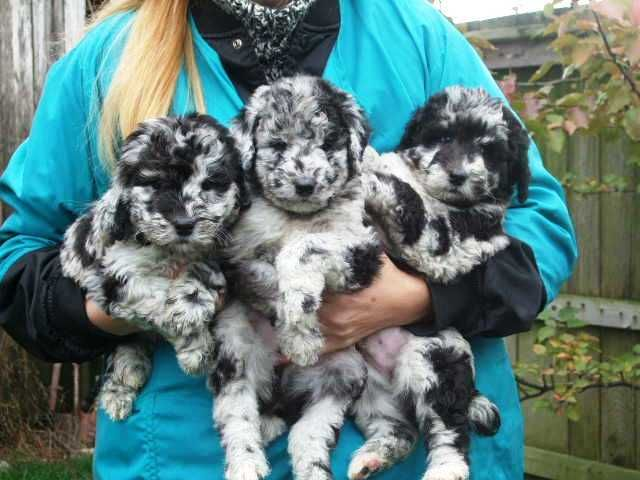 Available AussieDoodles - Welcome to our ranch where... Temperament, Color, Conformation, and Gait. all come TOGETHER!!!