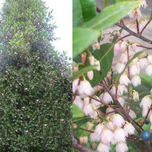 Blueberry Ash (Elaeocarpus Reticulatus) native screening tree grows up to 6m