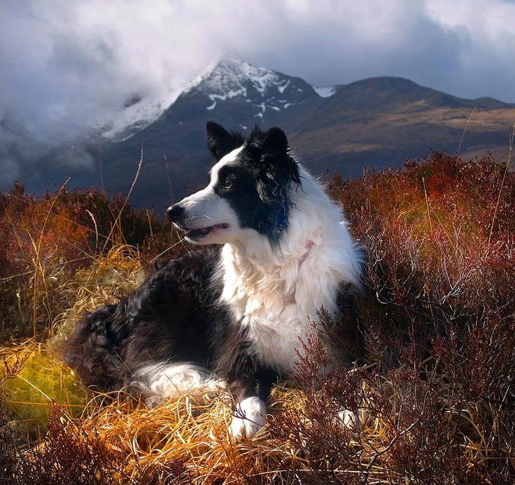 Collie in the Cuillins - Skye - Scotland.