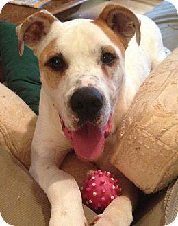 Dallas, GA – American Bulldog/Great Dane Mix. Meet Stone a Dog for Adoption.