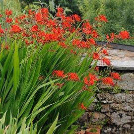 Crocosmia Lucifer, Crocosmia crocosmiiflora - Spring Bulbs from American Meadows