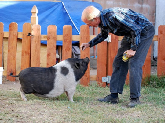 Adult mini potbelly pig - photo#15