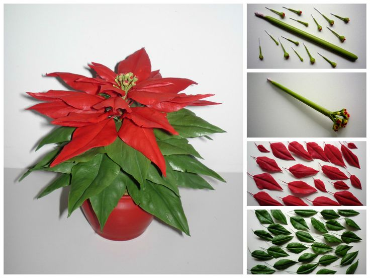 Poinsettia - Mikulásvirág https://www.facebook.com/Csodavirag