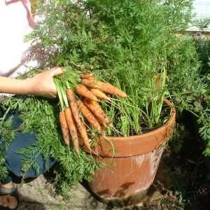 Potted Carrots.