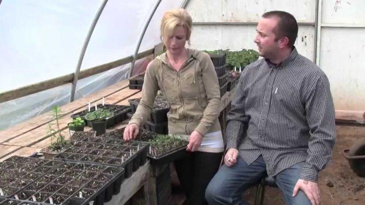 Preventing Legginess In Tomato Transplants - Guide
