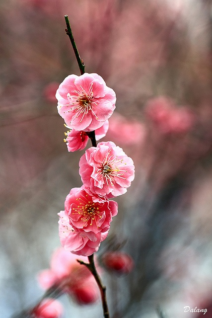 ~~Red Plum Blossoms by Dalang55555~~