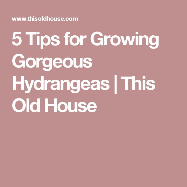 5 Tips for Growing Gorgeous Hydrangeas   This Old House