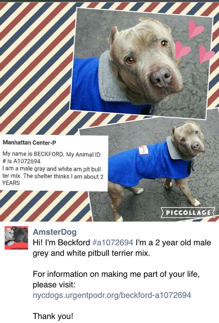 ❤️❤️❤️ HAPPYTEARS ❤️ SAFE 1/23/17❤️ PLEASE TREASURE AND LOVE THIS DIAMOND FOREVER ❤️ THANK YOU❤️ RETURNED!! PERS PROBL!! THIS PRECIOUS FRIEND IS DEVASTATED AND SO AM I!! SUPER URGENT Manhattan Center RTO SAFE❤️ 5/18/16 Manhattan Center-P My name is BECKFORD. My Animal ID # is A1072694. I am a male gray and white am pit bull ter mix. The shelter thinks I am about 2 YEARS I came in the shelter as a STRAY on 05/06/2016 from NY 10468, owner surrender reason stated was STRAY…