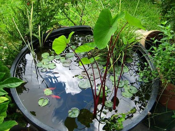 101 Best Images About Container Water Gardens On Pinterest Gardens The Plant And Elephant Ears