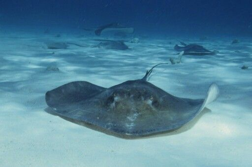 Australian Stingrays are known to attack anyone who dares to step on them, using the venomous sting located at the tip of their tail. The mighty Steve Irwin (AKA The Crocodile Hunter) tried to film one but was attacked a few hundred times in a manner of seconds and died within minutes.
