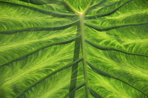 Art prints for sale... this lovely green broadleaf tropical plant will add a touch of soothing color to your home or office walls.
