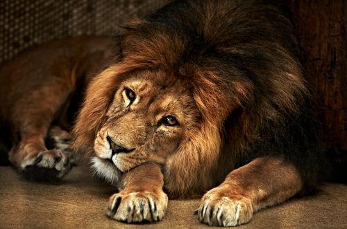 :3: Big Cat, Ain T Lion, Lion Photo,  King Of Beasts,  Panthera Leo, Lion K