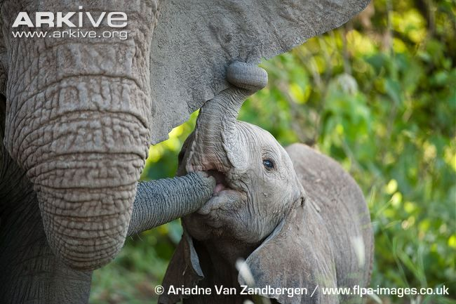 African elephant suckling on sibling's trunk. Status: Vulnerable. The skull of the African elephant is huge, making up 25% of its body weight. African elephants grow throughout their lives, but the rate slows after sexual maturity. The upper lip and nose of the African elephant are extended to form the trunk. African elephants use sounds well below the range of human hearing to communicate over long distances.