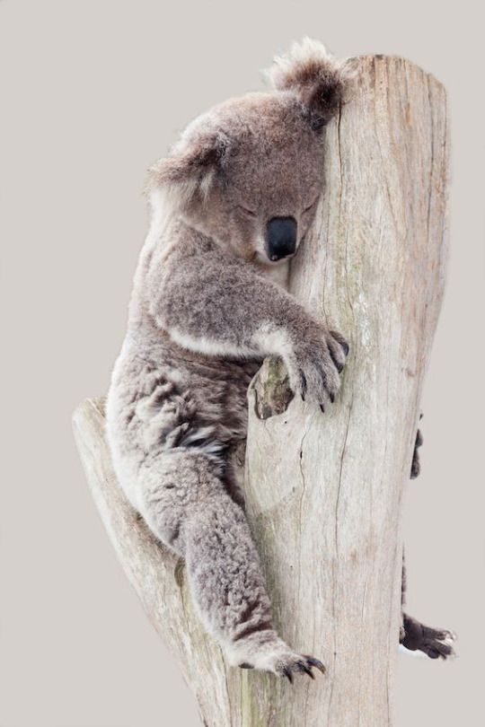 Koala in it's favorite state... they like to sleep, a LOT, up to 20 hrs/day!