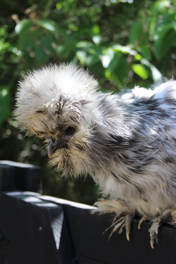 192 best chickens images on pinterest chicken coops chicken