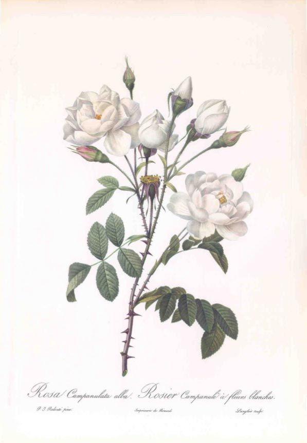 White Campanula Rose (Rosa Campanulata alba) Pierre-Joseph Redoute England 1954-1956