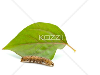 brown caterpillar and leaf - Portrait of brown caterpillar and leaf isolated on white background