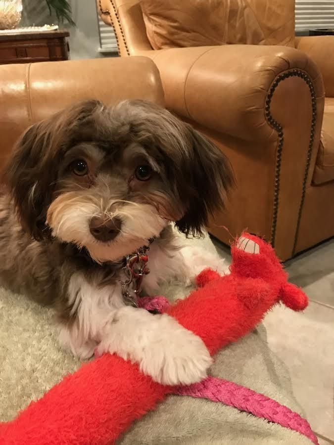 Just A Adorable Picture To Make You Smile Havanesepuppies Royalflushhavanese Puppiesforsale Ri Florida Cute Dog Pictures Havanese Puppies Cute Pictures