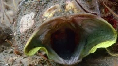 The sarcastic fringehead is a small but ferocious fish which has a large mouth and aggressive territorial behavior. When two fringeheads have a territorial battle, they wrestle by pressing their...