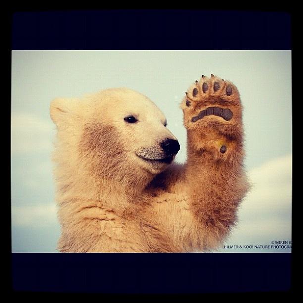 X Five Polar Bear Top 41 ideas about So ...