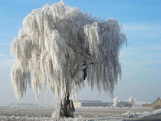 Beautiful: Snowy Willow, Nature, Willow Trees, Weeping Willow, Winter Wonderland, Beautiful, Frozen Willow, Photo