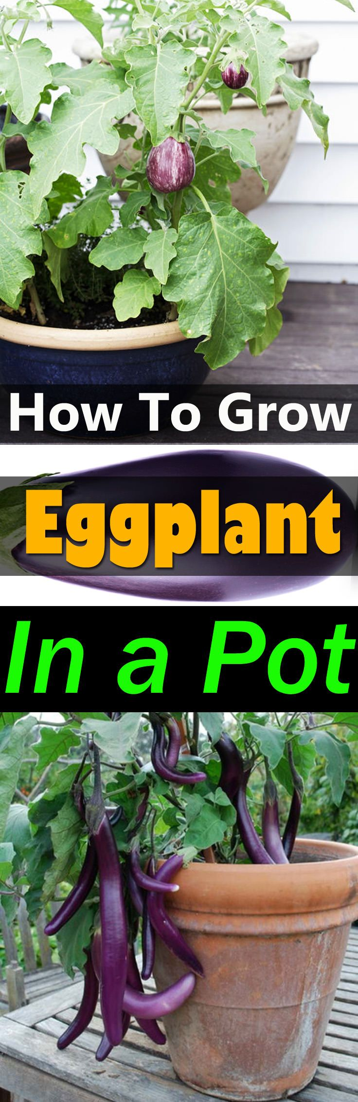 Growing eggplants in containers is not complicated and if you're a fan of grilling and oven broiling, you should grow this delicious and PRODUCTIVE vegetable.