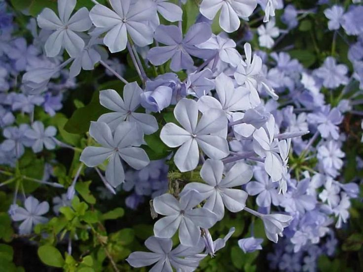 """Austin Native Landscaping: """"We try to use Plumbago in part shade situations because the plant is not as drought tolerant in full sun and seems to enjoy the occasional shade. Texas adapted Plumbago is a stellar pick for many landscapes. Its blue flowers will really pop out in the summer and will complement well other similar colored plantings. Plumbago is deciduous so shearing back after first frost is recommended."""""""